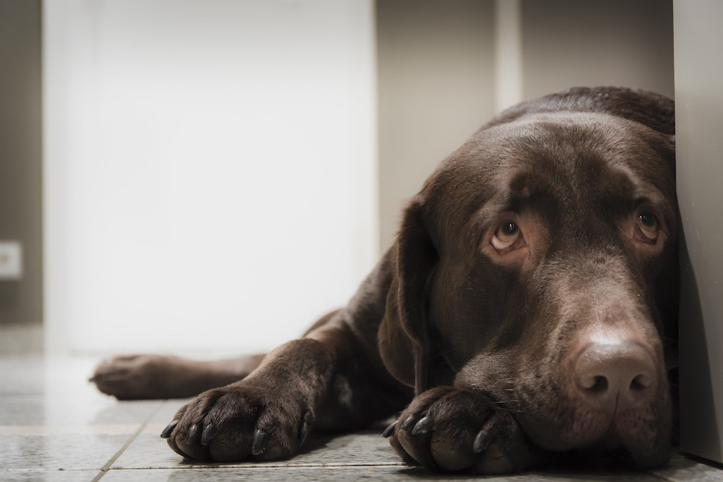 Photograph Chocolate Lab by Tom Maxim on 500px