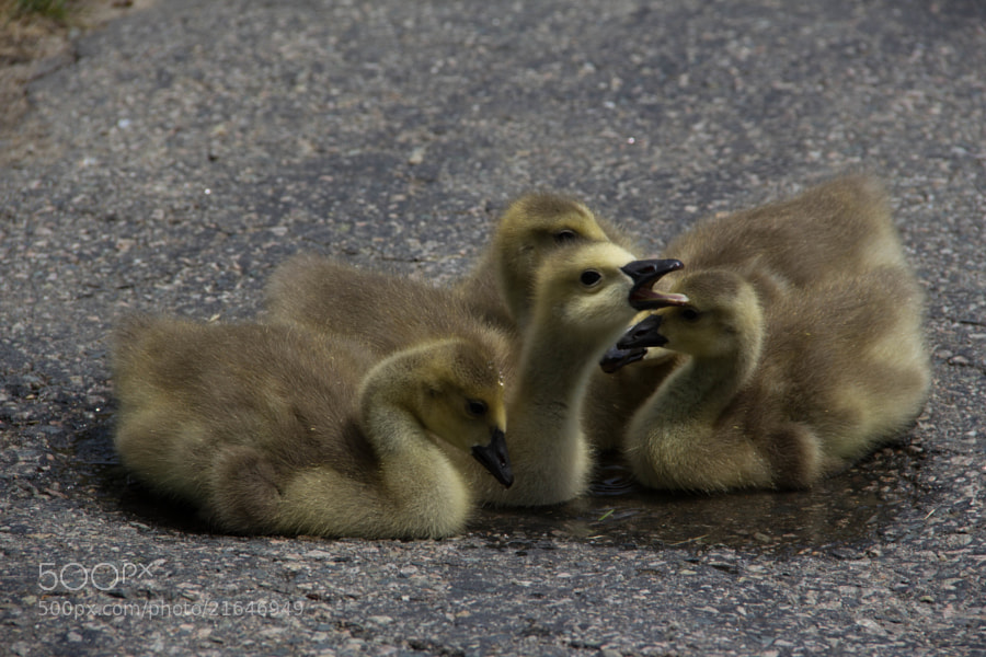 Geese are Cuter When They're Younger by Matty Stevenson (mattystevenson)) on 500px.com