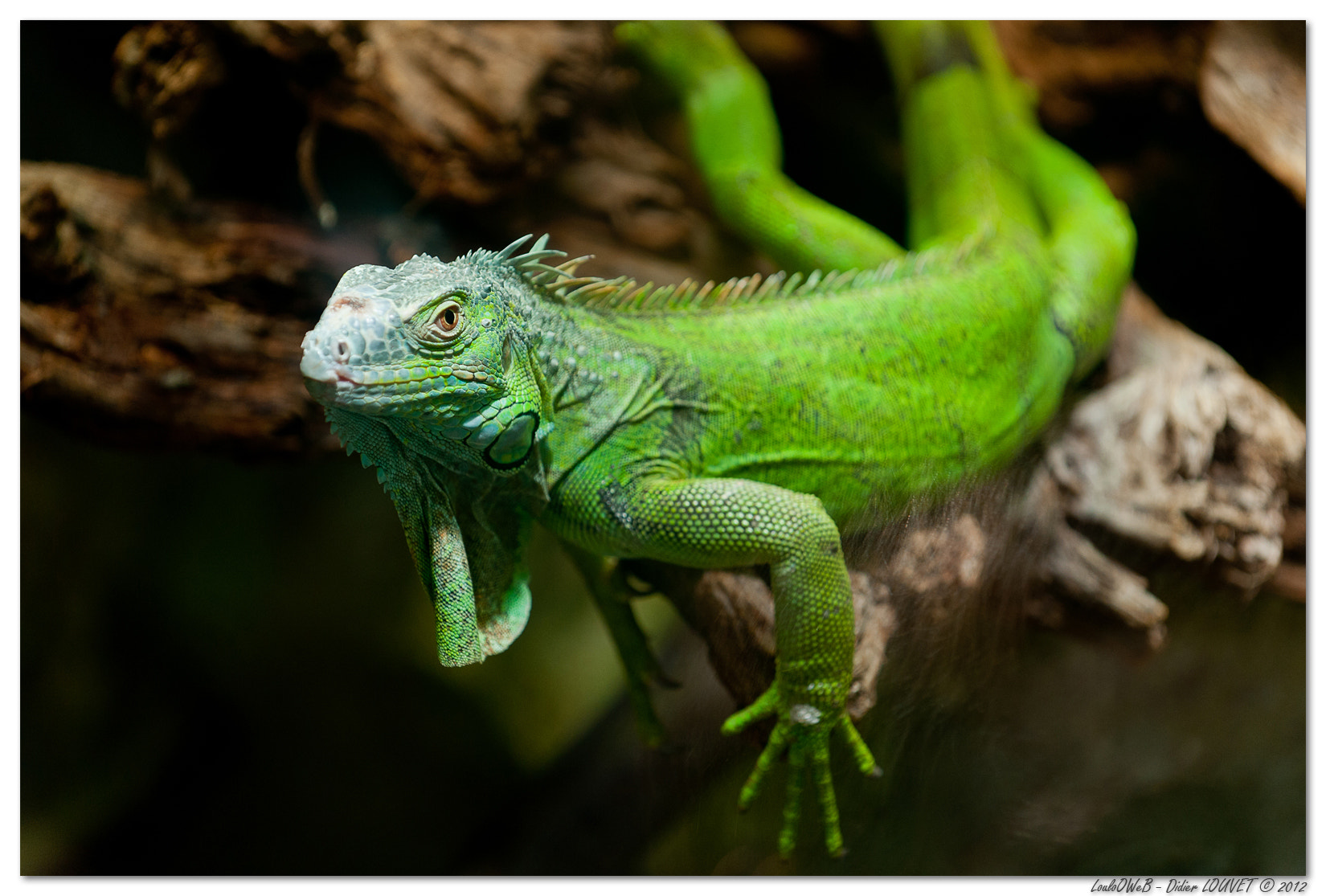 Photograph Iguane vert - Zoo de Beauval by LouloOWeB  on 500px