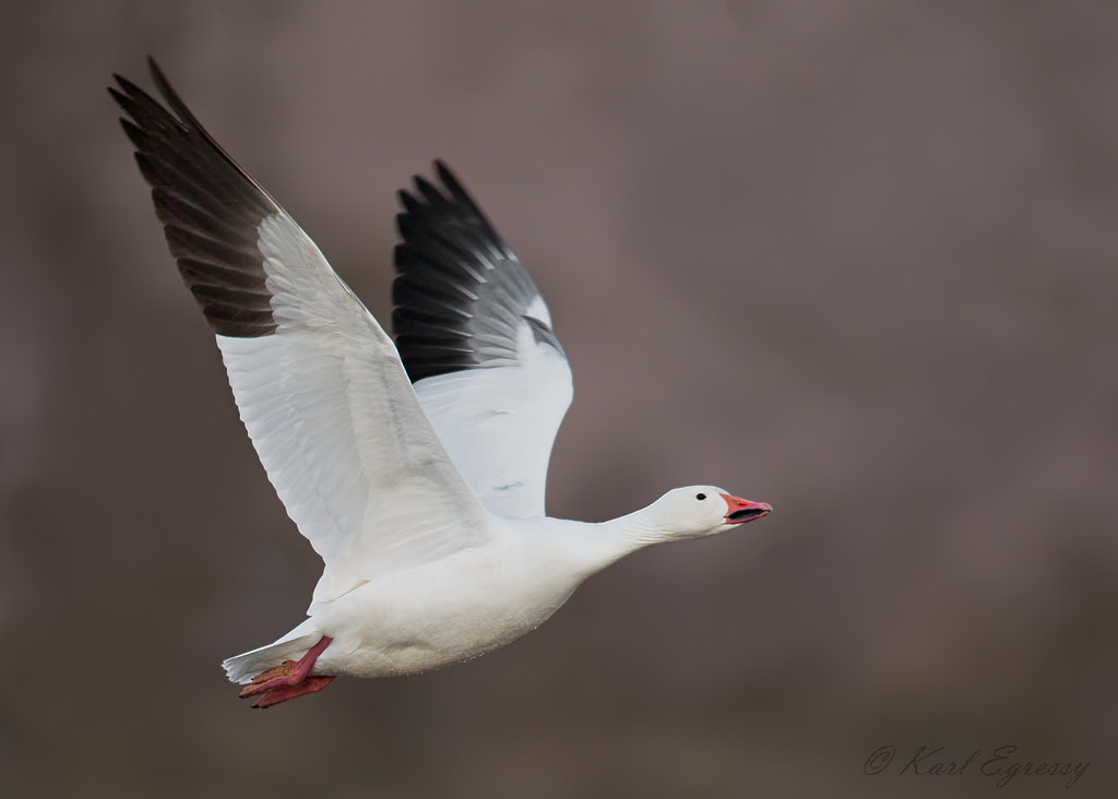 Photograph Snow Goose. by Karl Egressy on 500px