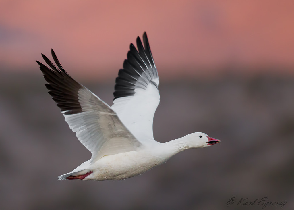 Photograph Snow Goose early In The Morning. by Karl Egressy on 500px