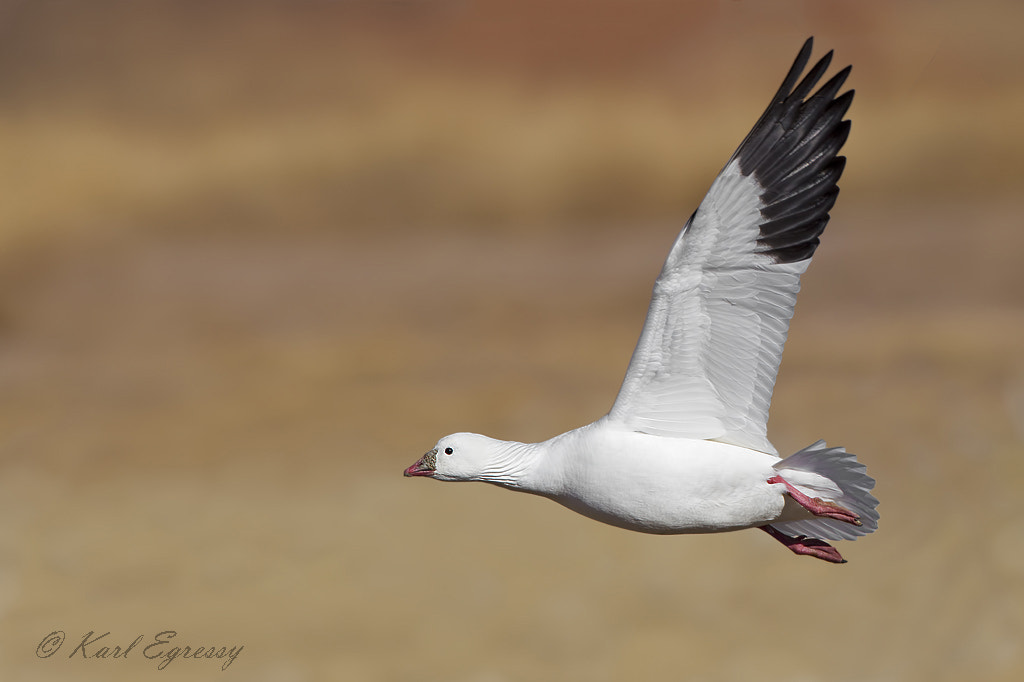 Photograph Ross's Goose by Karl Egressy on 500px