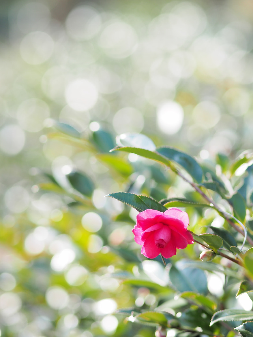 Photograph Camellia in the light by Kaz Watanabe on 500px
