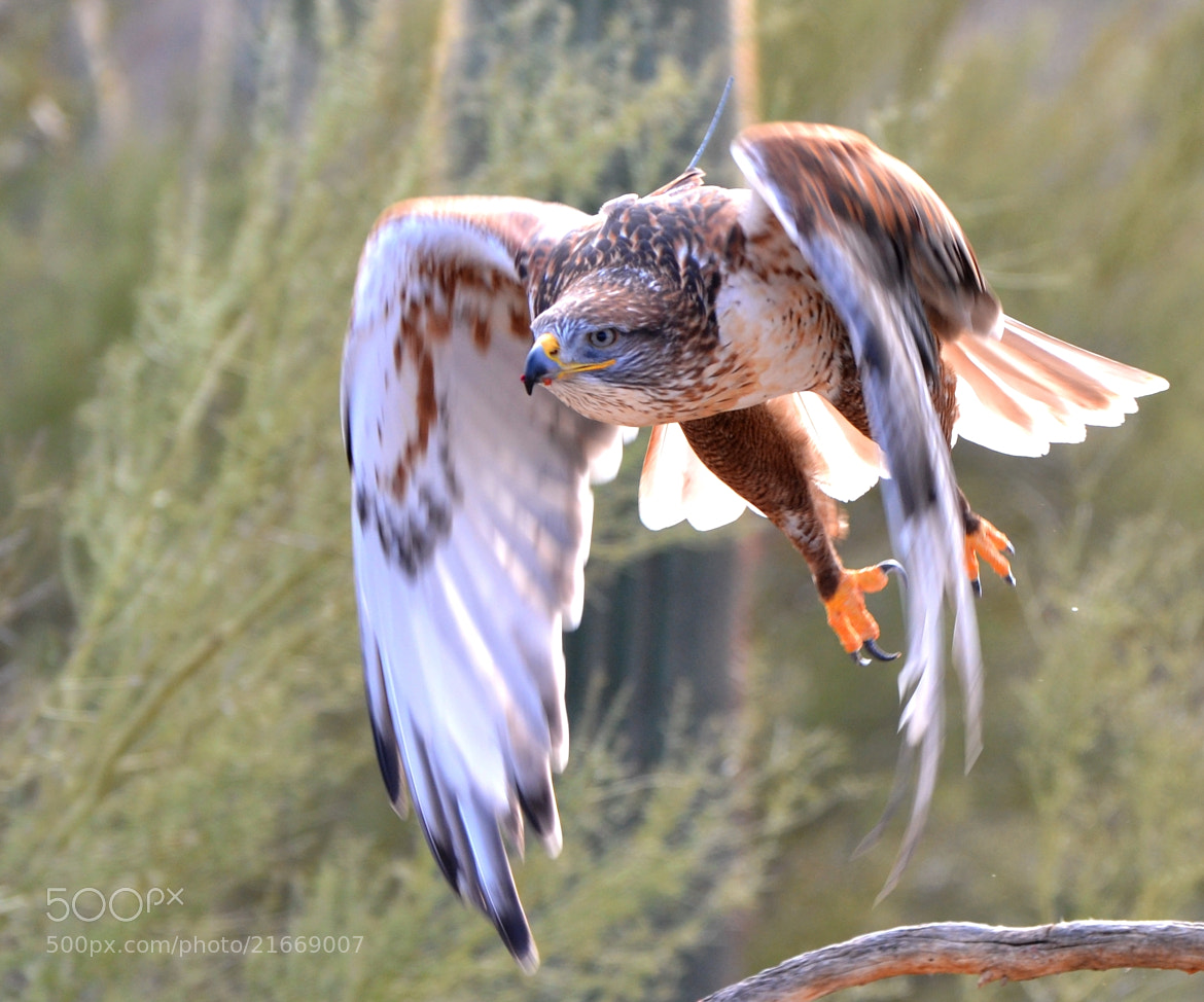Photograph Ferruginous Hawk by Michael Fitzsimmons on 500px