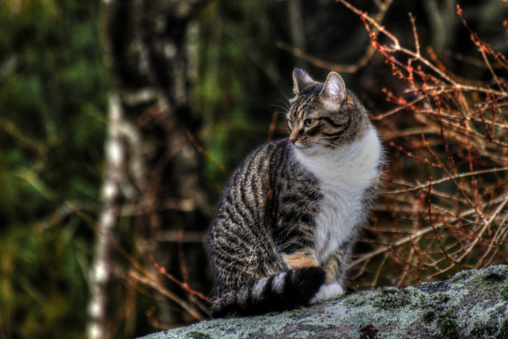 Photograph Mountain cat... by Almqvist Photo on 500px