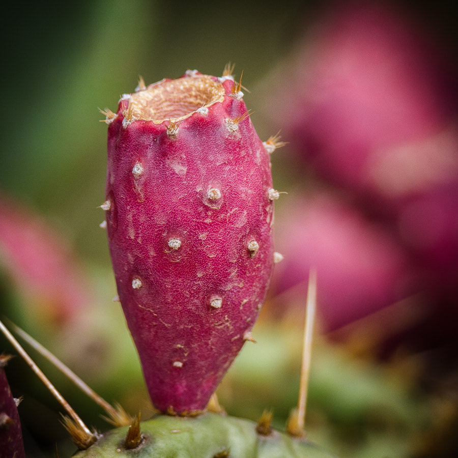Photograph .: Prickly Pear :. by Jon Rista on 500px