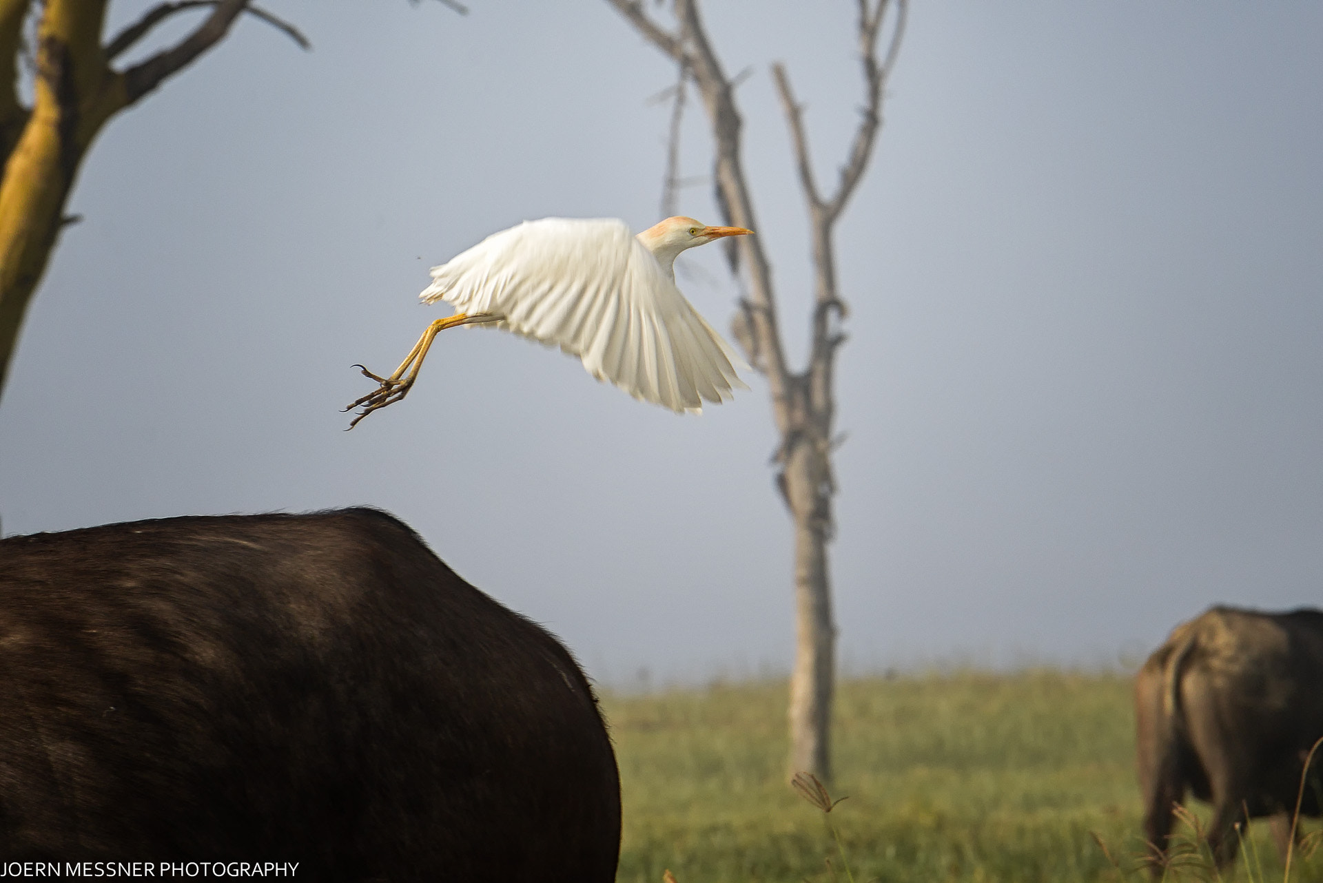 Photograph Cattle Egret by Joern Messner on 500px