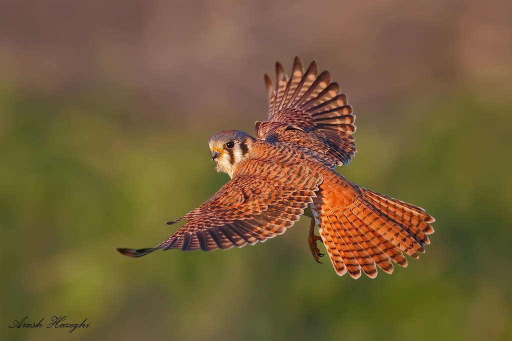 Photograph Kestrel by Ari Hazeghi on 500px