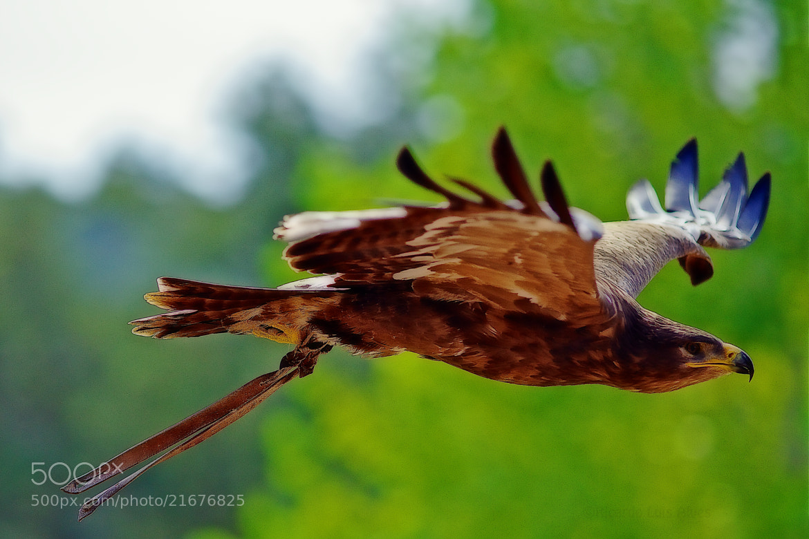 Photograph Harris Eagle VI by Ricardo  Alves on 500px