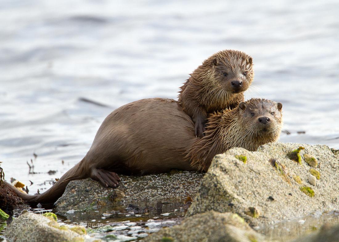Photograph Shetland Otters by Giedrius Stakauskas on 500px