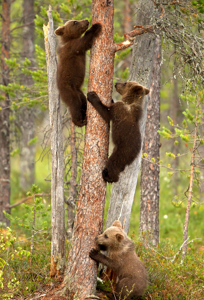 Photograph Frightened Bear Cubs by Giedrius Stakauskas on 500px