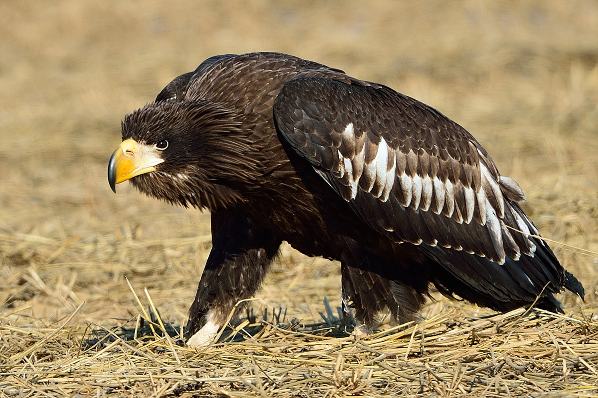 Photograph Steller's Sea Eagle by Young Sung Bae on 500px