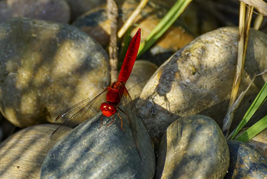 Dragonfly-Metallica red de Igor Sikorsky sur500px.com
