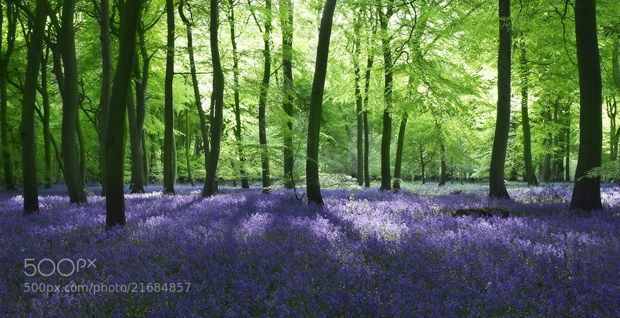 Photograph Evening Bluebells by Ceri Jones on 500px