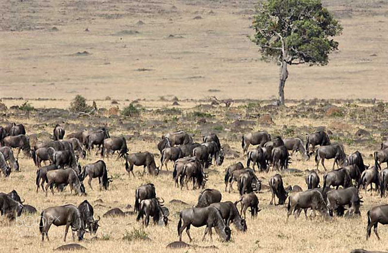 Taken in the Masai Mara during the time of the great migration.  Such an incredible sight to see.