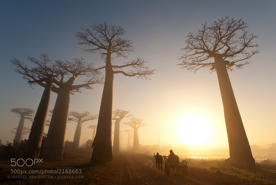 Photograph Oxcart - National Geographic by Marsel van Oosten on 500px