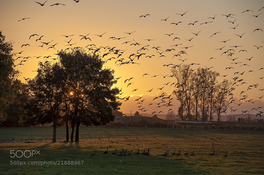 Photograph wild geese at sunset by Manfred  on 500px