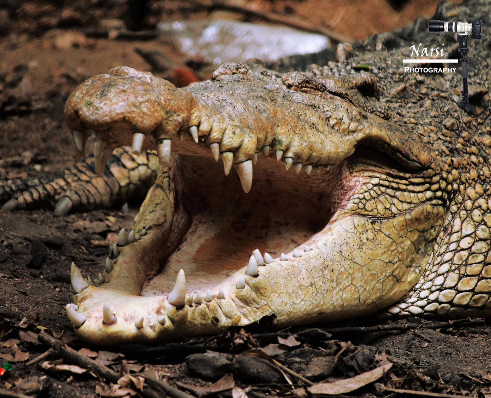 Photograph Head Shot of a Large Saltwater Crocodile !!!!  by Narasimhan N on 500px