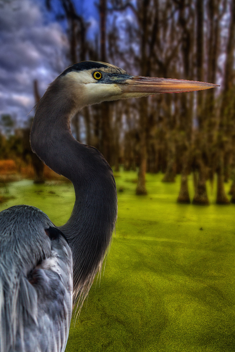 Photograph Great Blue by Ed Adams on 500px
