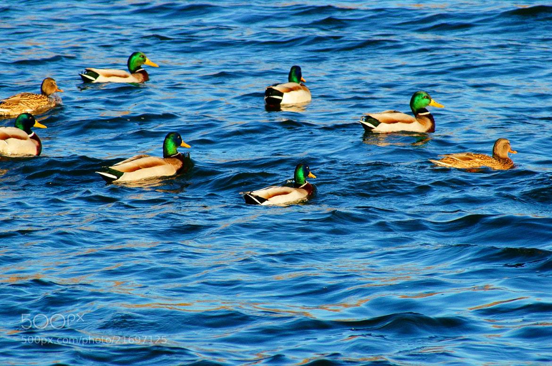 Photograph Ducks by Grigory Nesvetaev on 500px