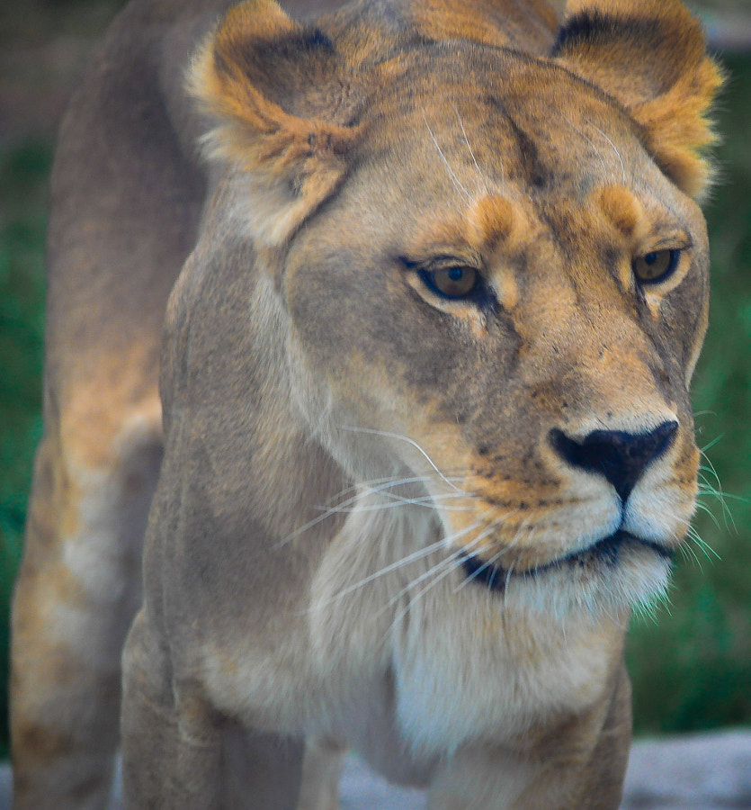 Amazing muscle definition on this lioness.