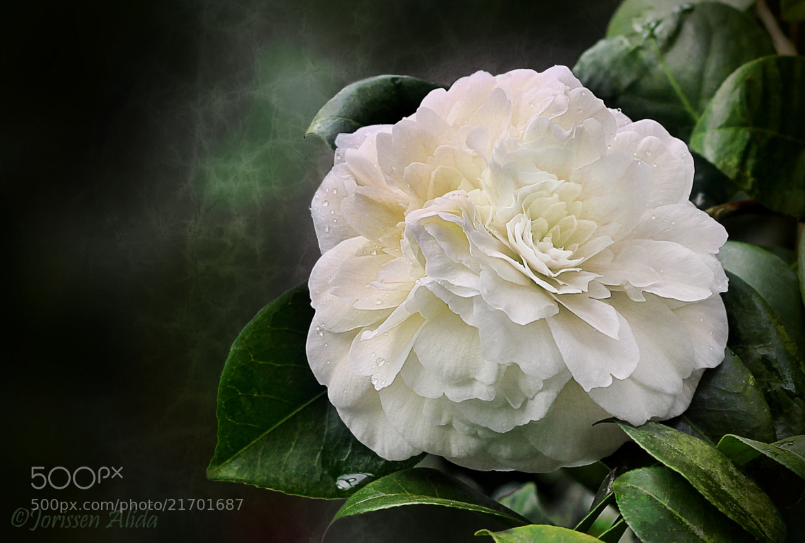 Photograph My favourite flower by Alida Jorissen on 500px