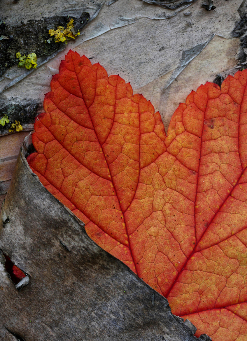 Photograph Leaf & Birch by Ron Perkins on 500px