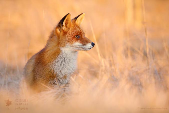 Focused Fox