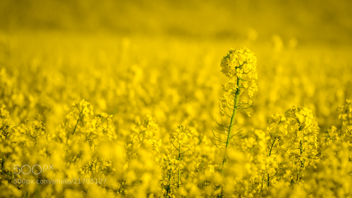 Photograph Mellow yellow by Ben Robson Hull on 500px