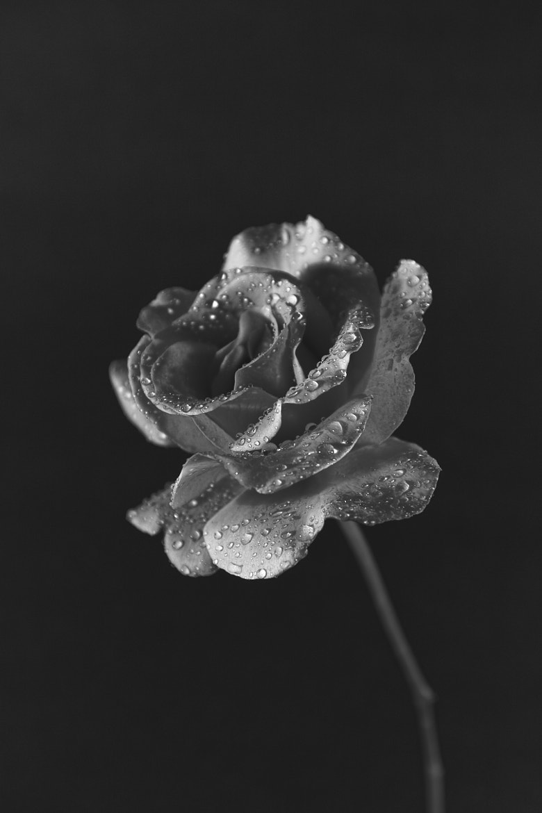 Photograph A Pink Rose in Black & White by Mark Hendrickson on 500px