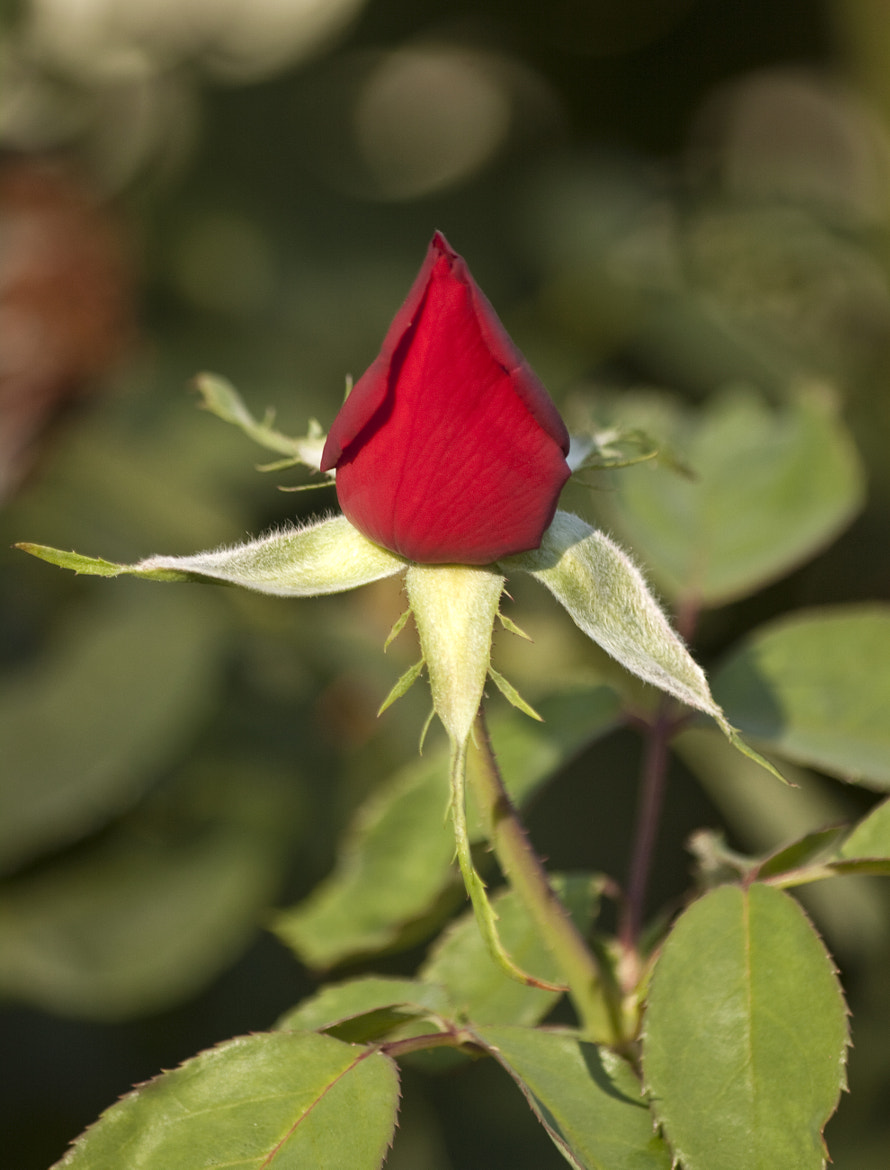 Photograph Single Bright Red Rose Bud by Mark Hendrickson on 500px