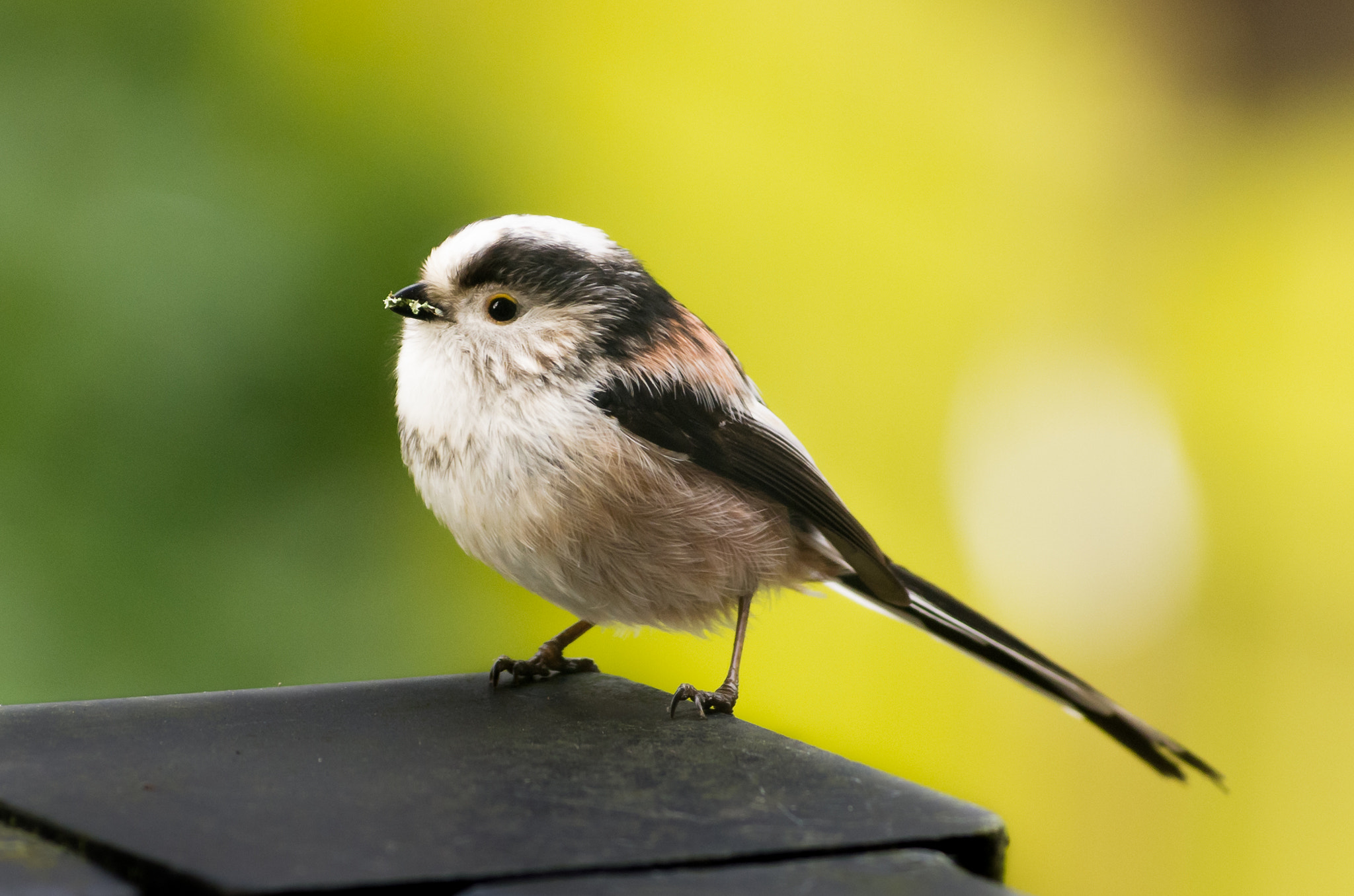 Photograph Long-Tailed Tit by John C. on 500px