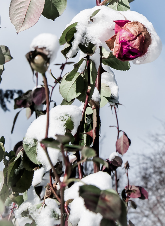 Eleanor Ford's rose garden in winter.