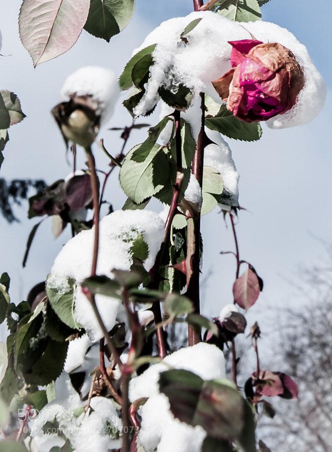 Eleanor Ford's rose garden in winter.