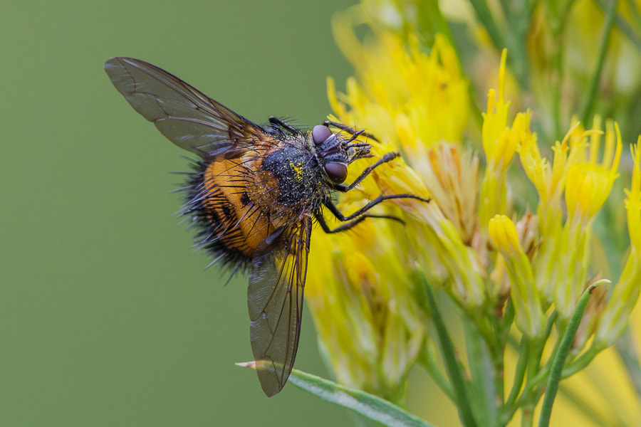 Photograph .: The Ugly Hedgehog Fly :. by Jon Rista on 500px