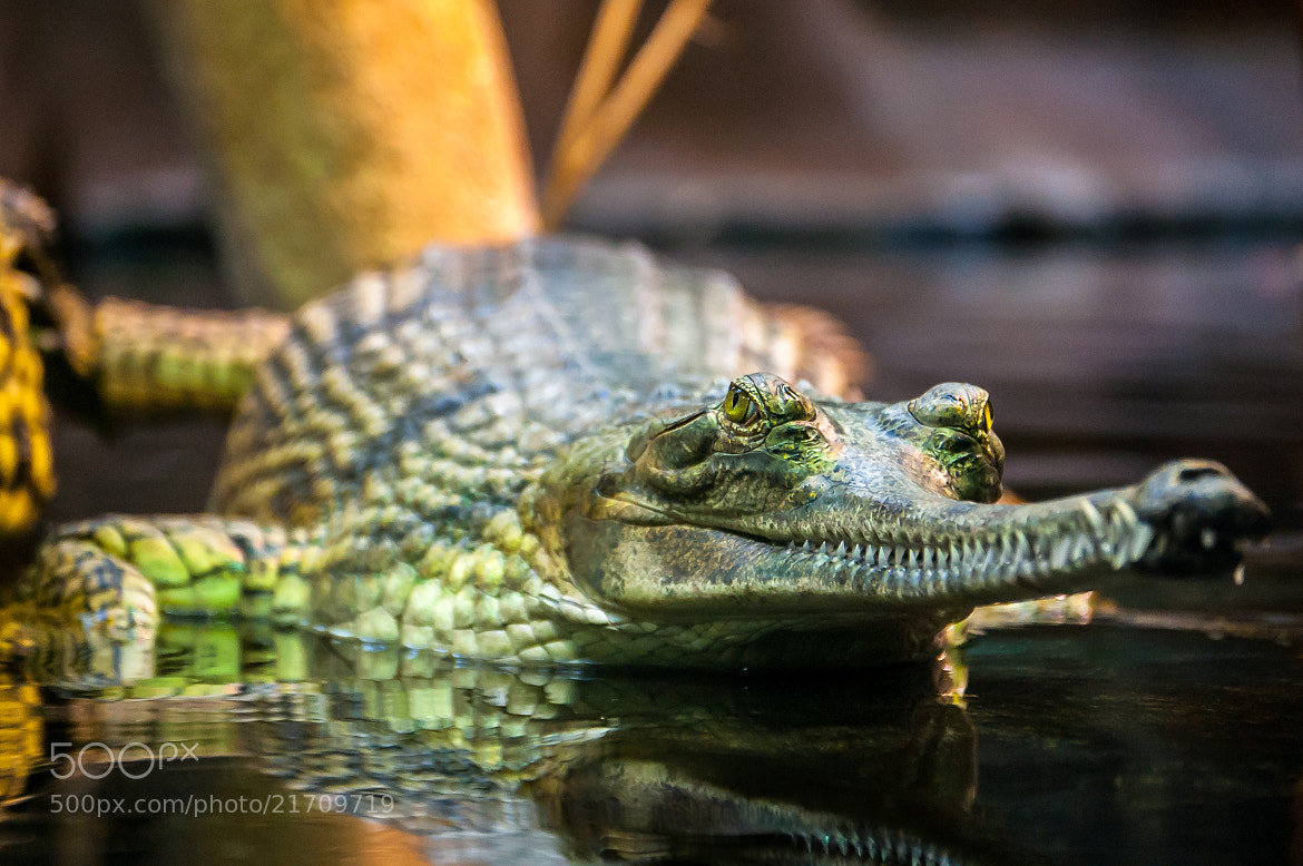 Photograph Gharial by Jure Bajt on 500px