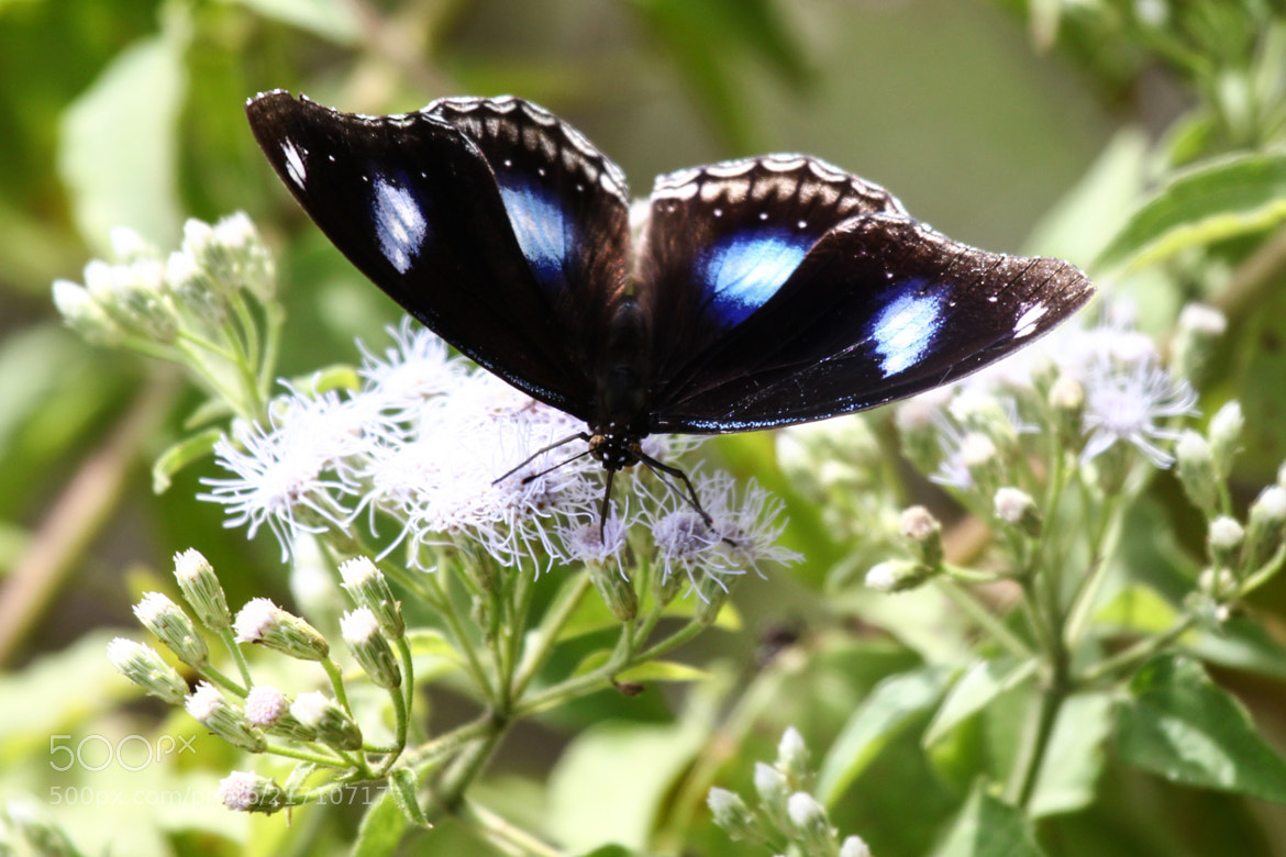 Photograph Great Eggfly - Blue Moon Butterfly by Ravi Meghani on 500px