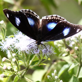 Great Eggfly - Blue Moon Butterfly by Ravi Meghani (ravi_meghani)) on 500px.com