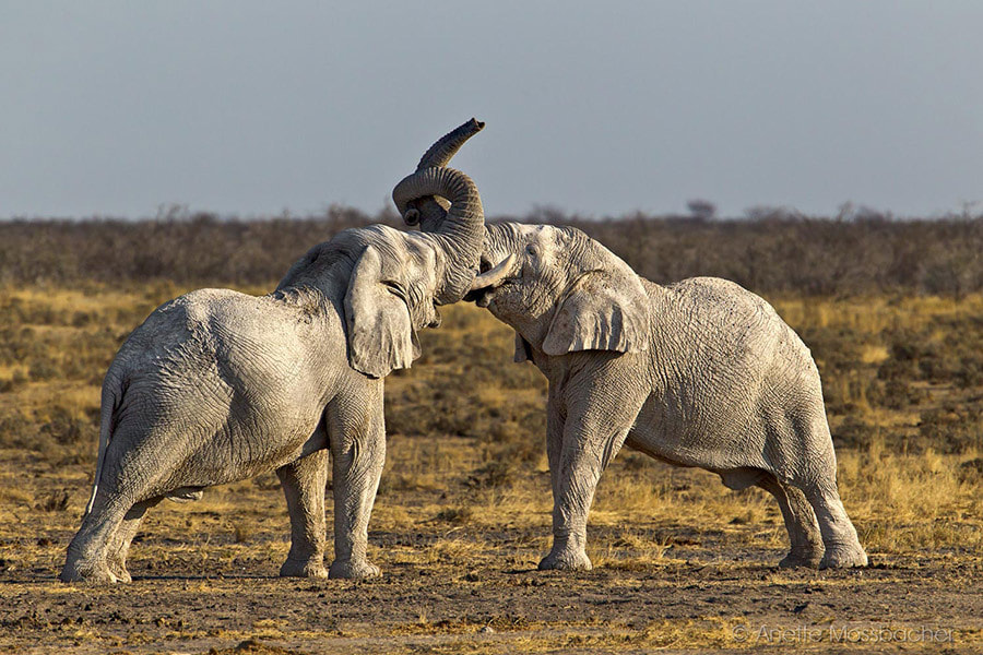 Photograph Fighting Elephant Bulls by Anette Mossbacher on 500px