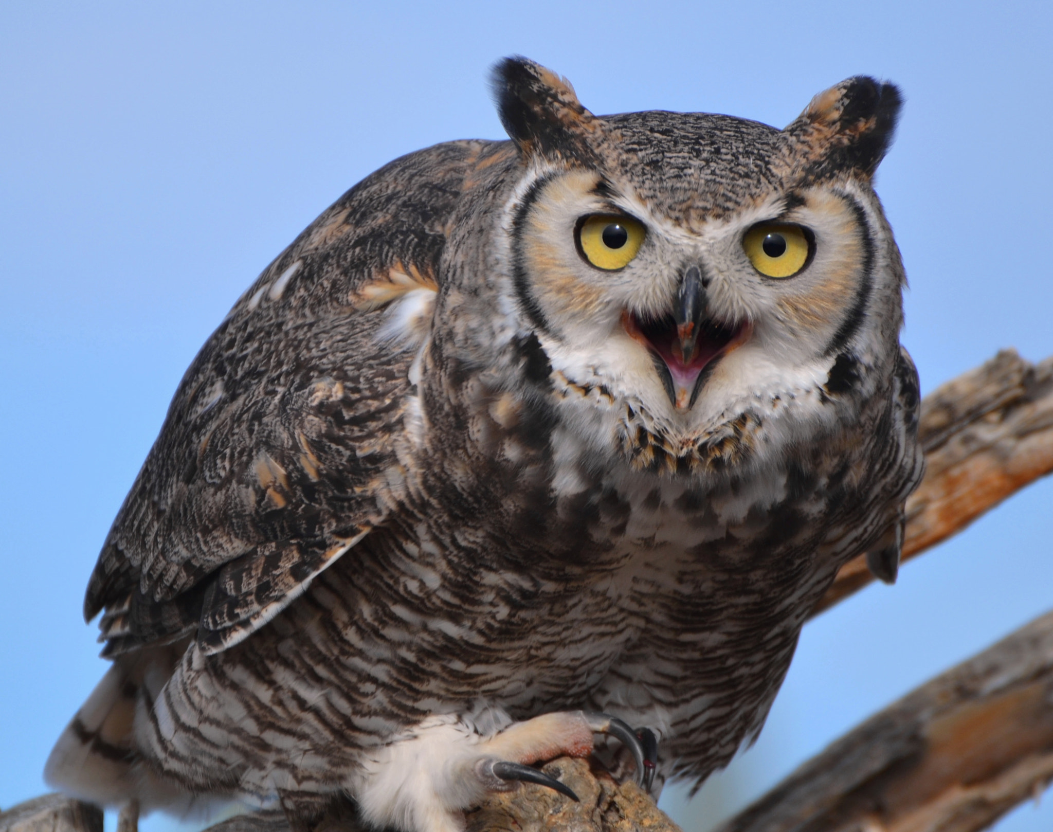 Photograph Great Horned Owl by Michael Fitzsimmons on 500px