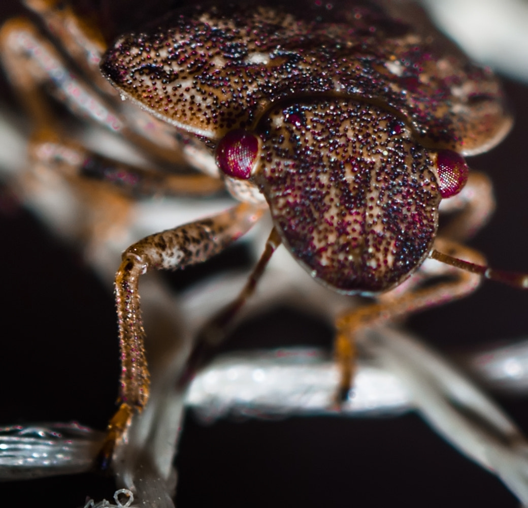 Photograph Pentatomidae / Shield Bug by Federico Tomasello on 500px