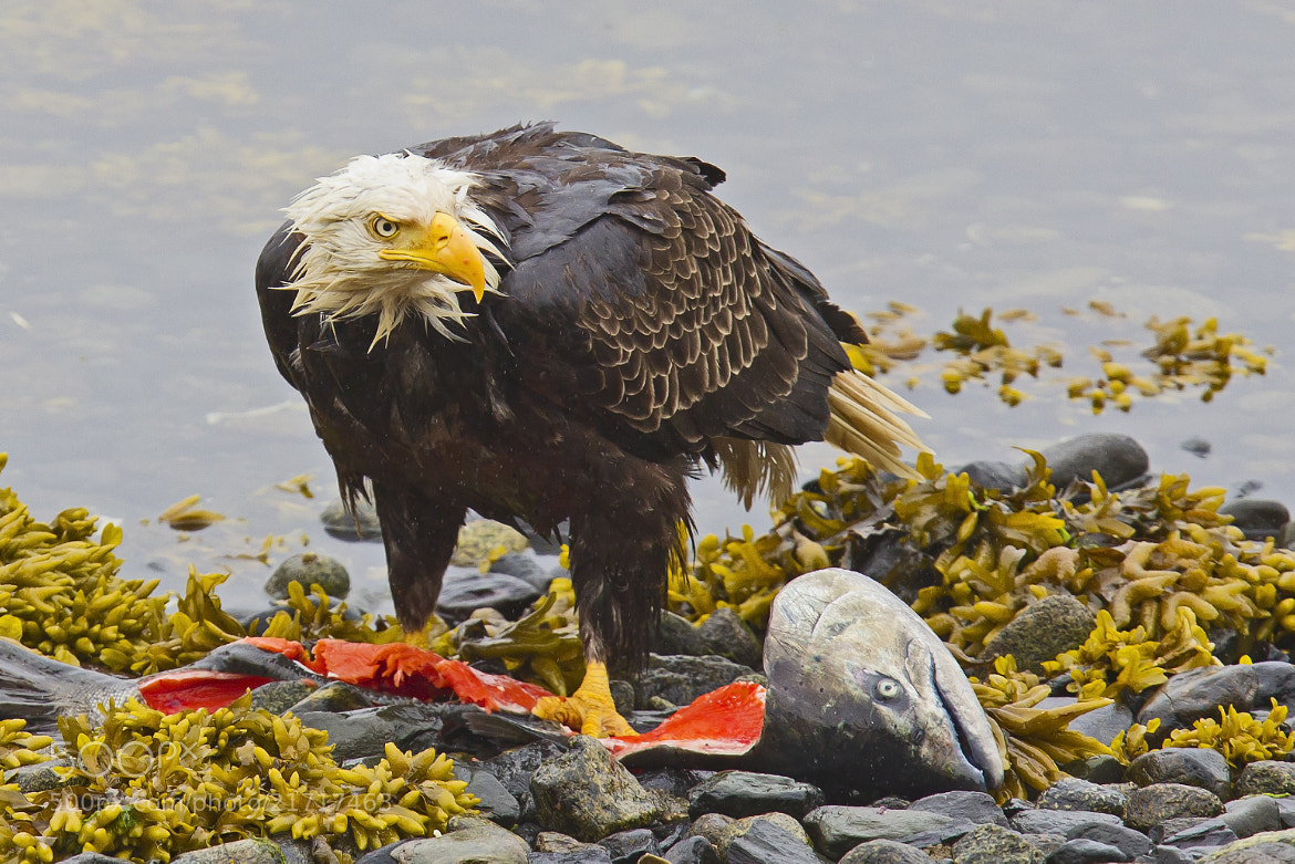 Photograph Wet Eagle by Joe Brown on 500px