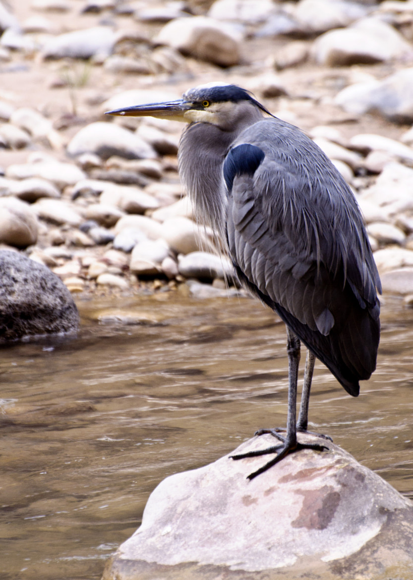 Photograph Great Blue Heron by Laurice Block on 500px