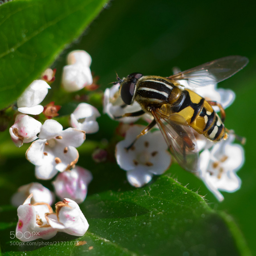 Hoverfly Lunch