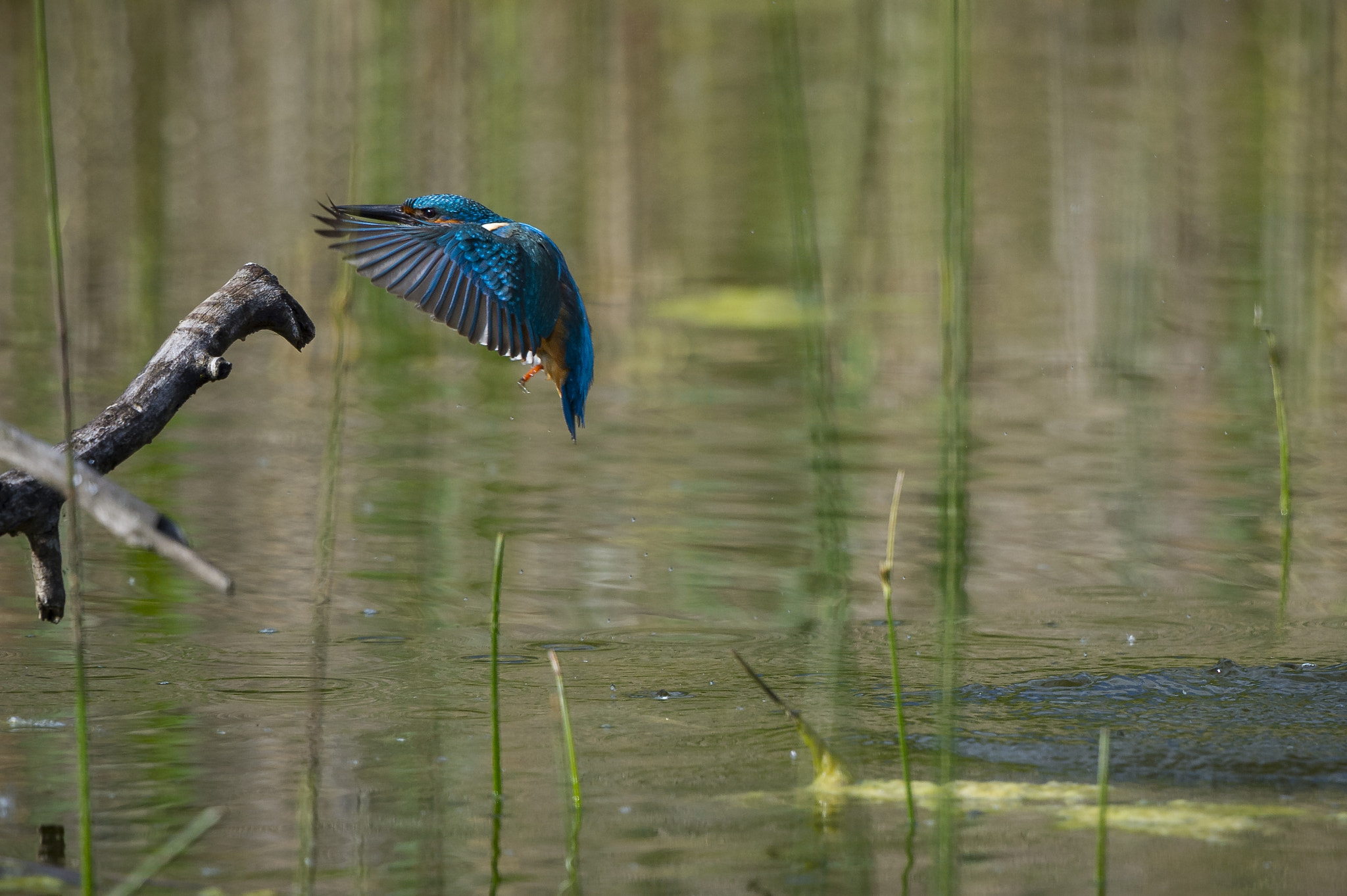 Photograph landing common kingfisher by Michel Mayerle on 500px