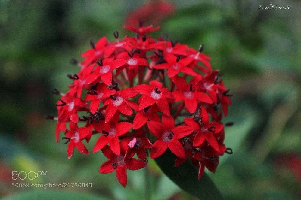 Photograph Flor roja by Erick Castro Alvarado on 500px