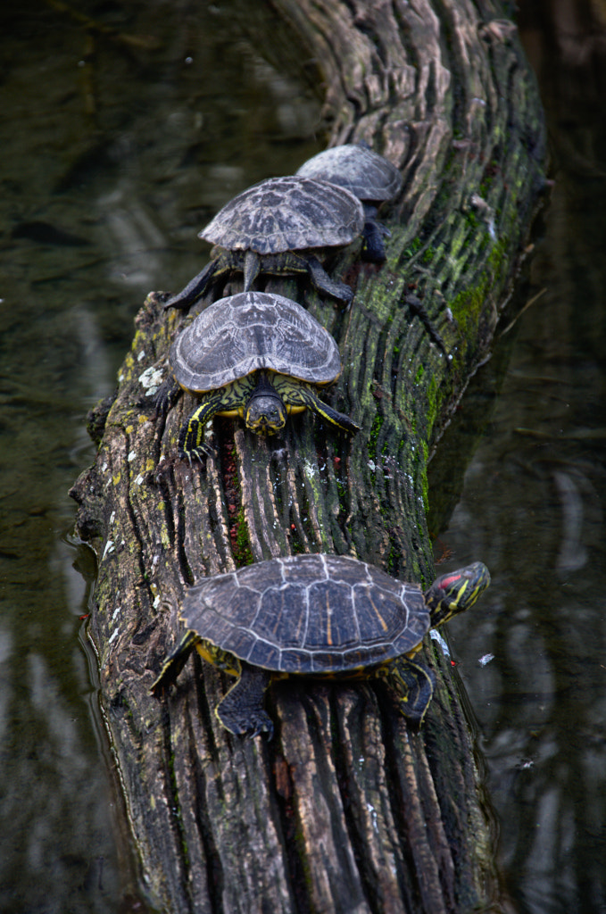 Photograph Turtle traffic by Julien  on 500px