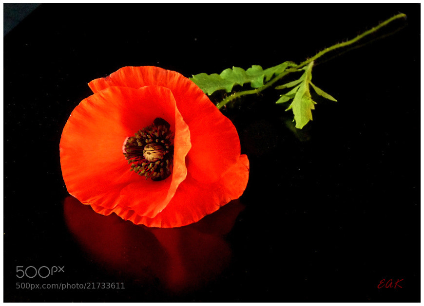 Photograph Poppy by Eva  Krejci on 500px