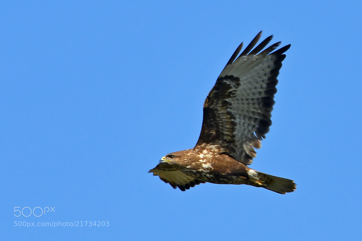 Photograph eagle by alperen  on 500px