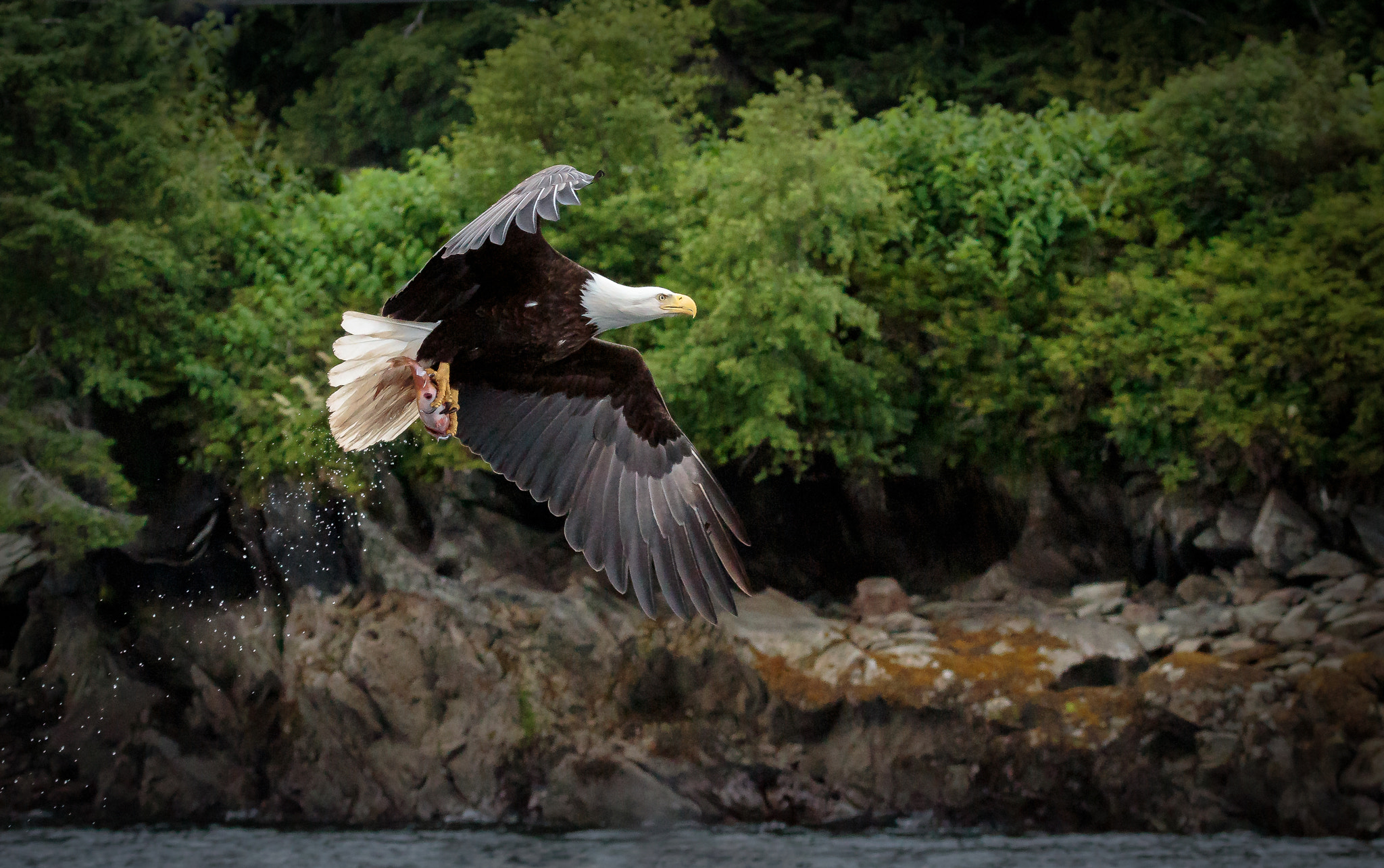 Photograph American Bald Eagle - Dinner Time by Doug Kliewer on 500px
